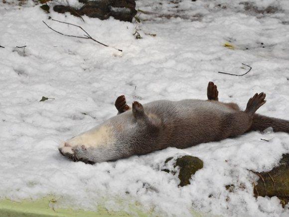 看着这只可爱的水濑在雪地里愉快地翻滚
