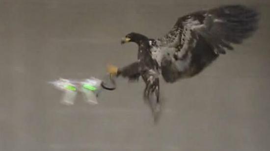 荷兰警方训练老鹰捕捉非法无人机