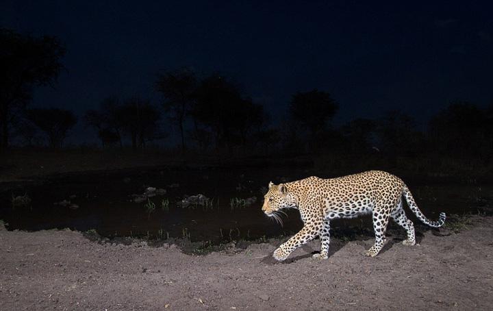 """摄影师布""""相机陷阱""""近距拍野生动物"""