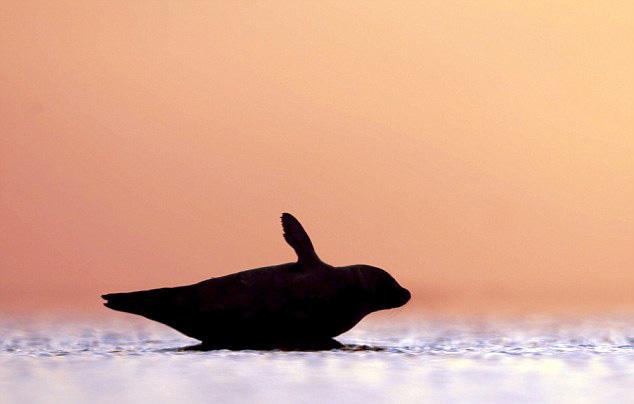 摄影师抓拍海豹憨笑的幸福时刻