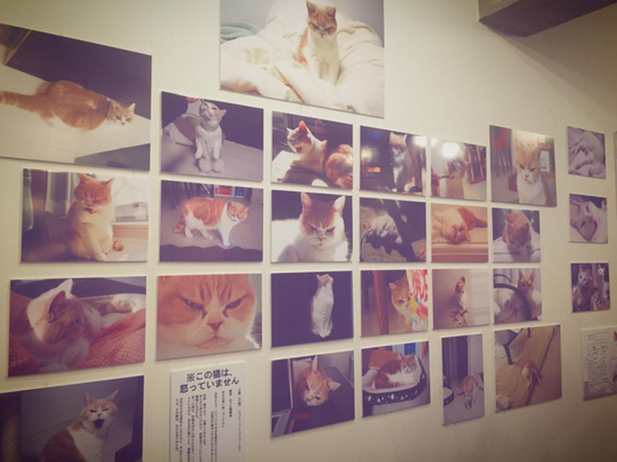 """日本猫咪挑战""""不爽猫"""" 满脸不服"""