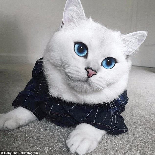 世界上最漂亮的猫!英国白猫大眼幽蓝颜值爆表