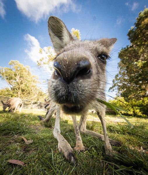 澳野生动物园发布袋鼠呆萌吐舌抢镜照