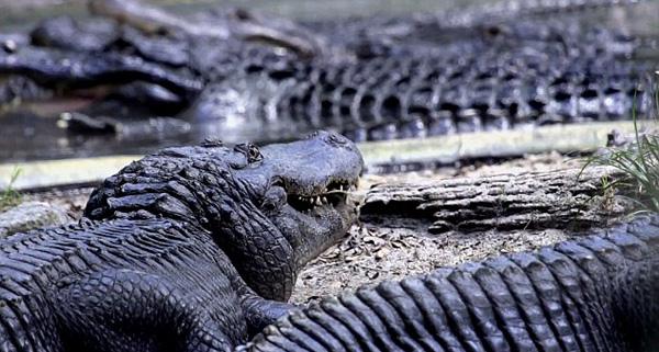 美动物园推出飞跃鳄鱼池项目
