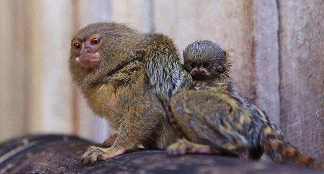 升级当妈妈的是悉尼辛比奥野生动物公园的艾迪。因濒危物种繁殖计划,2005年她应邀从新西兰奥克兰动物园来到悉尼,并很快与戈麦斯陷入爱河,随后就顺利成章地当上了妈妈。虽然她的双胞胎小狨猴体重只有15克,但是对于艾迪而言已经很重了,相当于人类生产大约10岁左右的孩子。可见,带着他们来回走动可不是一件容易的事情。侏儒狨猴是世界上最小的猴子,也是最小的灵长类动物,成年侏儒狨猴的体重平均也只有100克左右。