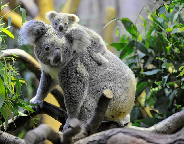 洛城动物园考拉遇害 明星美洲狮嫌疑最大