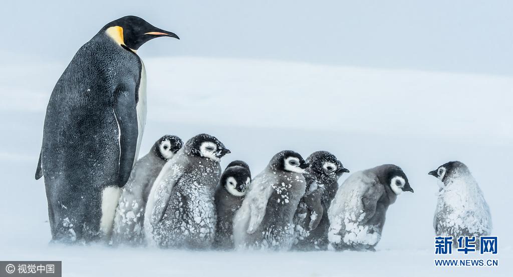 萌萌哒!南极洲帝企鹅宝宝抱团取暖