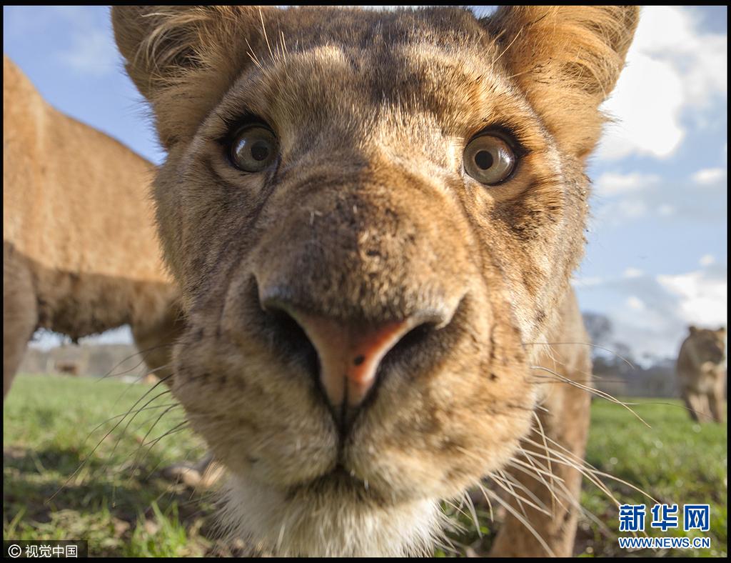英国朗利特,野生动物专家Simon King在一辆路虎汽车的一边建造了一个金属盒子,他将汽车停在safari park野生动物园,藏身金属盒子中近距离拍摄各种动物,狮子老虎等猛兽也对这陌生的盒子好奇不已。图片来源:视觉中国