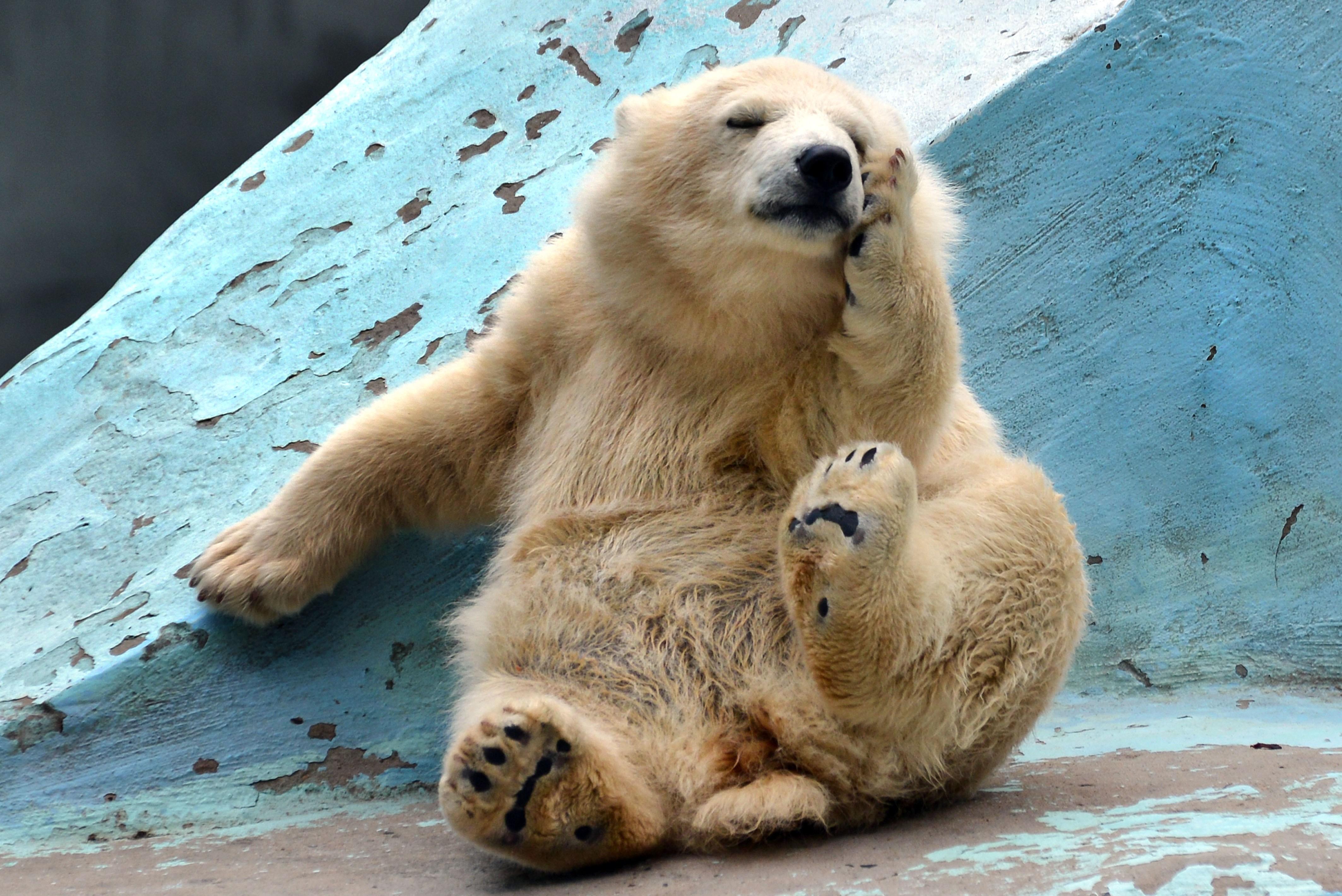 """俄罗斯北极熊""""做瑜伽""""被围观 害羞躲避(图)"""