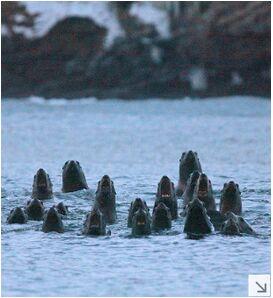 日北海道闪电海兽观光旅行北海狮齐吼景象壮视频九开展图片
