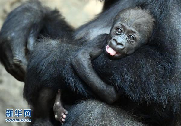 莱比锡动物园的大猩猩(组图)