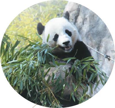 """大熊猫""""宝宝""""在美国华盛顿国家动物园内吃竹子"""