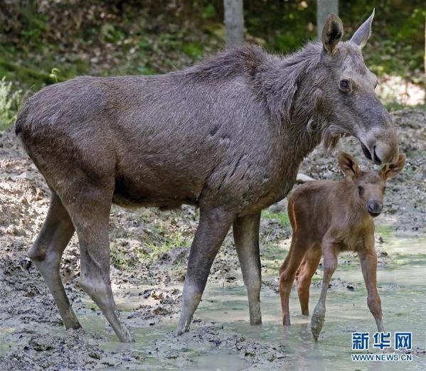 这是6月1日在德国巴特梅根特海姆野生动物园拍摄的一只雌性驼鹿和它的