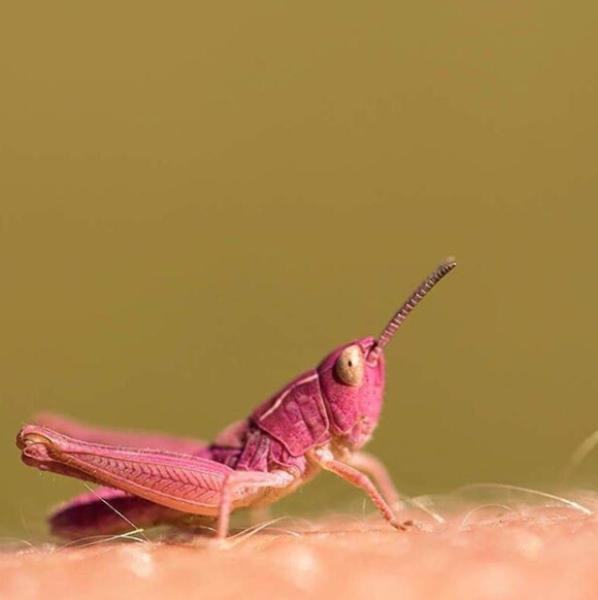 dnf私服:英国河畔现罕见粉色蚂蚱 系基因突变
