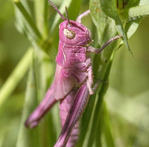 英国河畔现罕见粉色蚂蚱 系基因突变