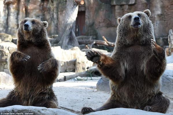 世界上的野生棕熊现有大约2万头,多数生活在俄罗斯.