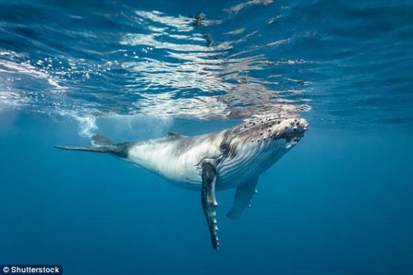 蓝鲸解剖结构图
