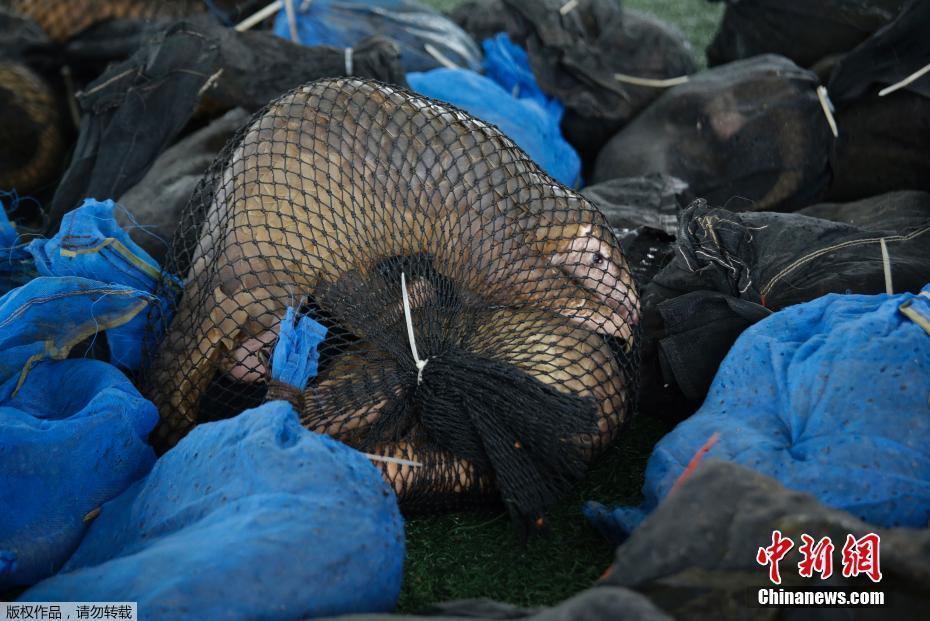 泰国海关查获一批走私活体穿山甲 数量之巨共计136只