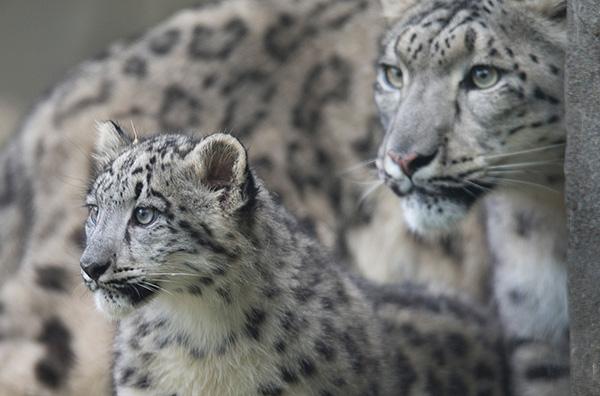 质疑   15日,美国动物学家,自然保护者,雪豹研究专家乔治?