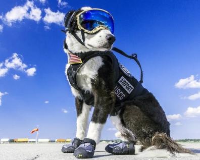 机场驱鸟犬走红 网友:戴上护目镜打扮帅炸了(图)