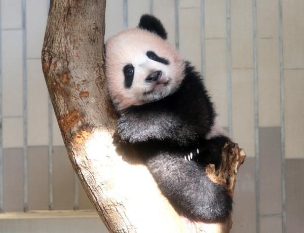 大熊猫 香香 正式亮相东京 观众抽签产生,首日中签率2图片 34501 600x460