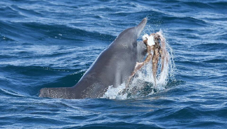 这只海豚把章鱼玩惨了狮子王片头电影图片
