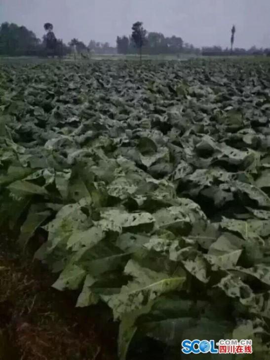 四川什邡遭遇冰雹 农作物受灾14800亩损失9355万