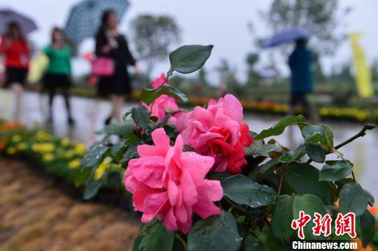 湖北千年古镇办月季文化节 以花为媒助力精准扶贫