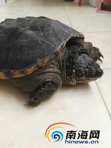 市民买来鳄龟欲放生 专家:会破坏本地生态