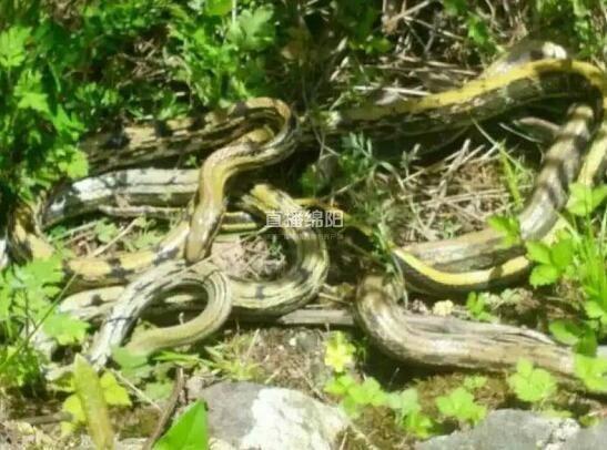 绵阳一树林里蛇抱团出没 三五成群缠绕一起