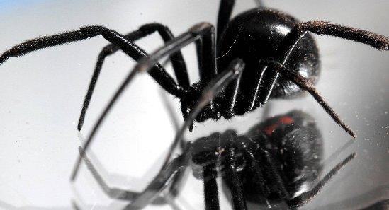 """美国""""黑寡妇""""蜘蛛入侵伊拉克 农夫向政府求救"""