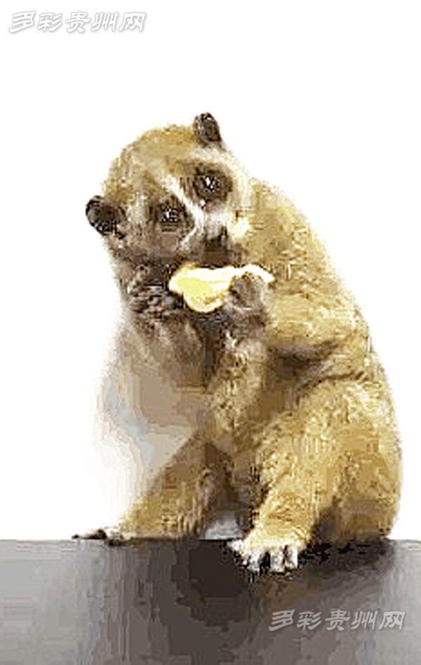 国家一级保护动物蜂猴扒电线上卖萌 长约20厘米