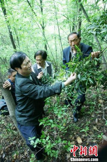 武当山发现千余亩古太和茶树群落