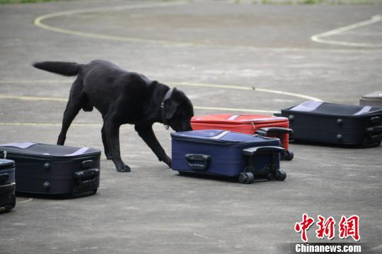 """广东警犬技术大比武 74头警犬搜毒搜爆显""""神通"""""""