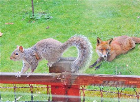 英松鼠敲窗求助:因被狐狸追踪 网友叹其成精(图)