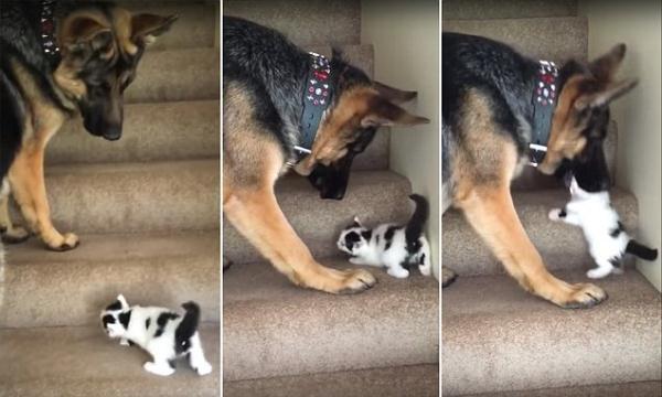 暖心!美牧羊犬帮小奶猫上楼梯 网友大赞
