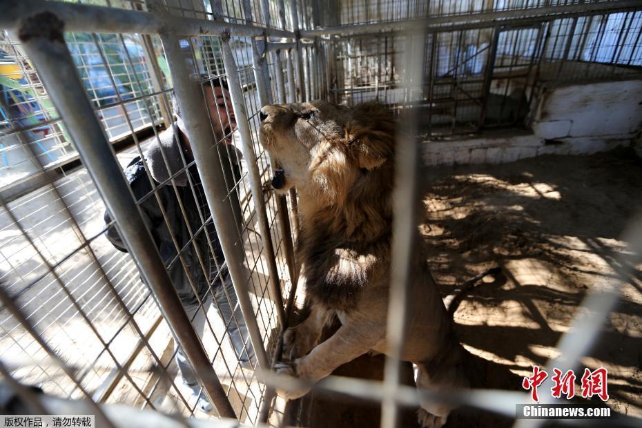 加沙动物园动物被饿死 干尸成为儿童玩具