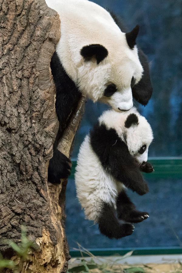 2016年11月7日,中国大熊猫保护研究中心旅居奥地利美泉宫动物园大熊猫