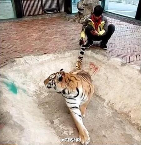 野生动物园直播虐虎? 动物园回应称是在嬉戏