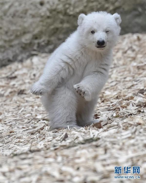 萌翻了!德国动物园一北极熊幼崽首秀