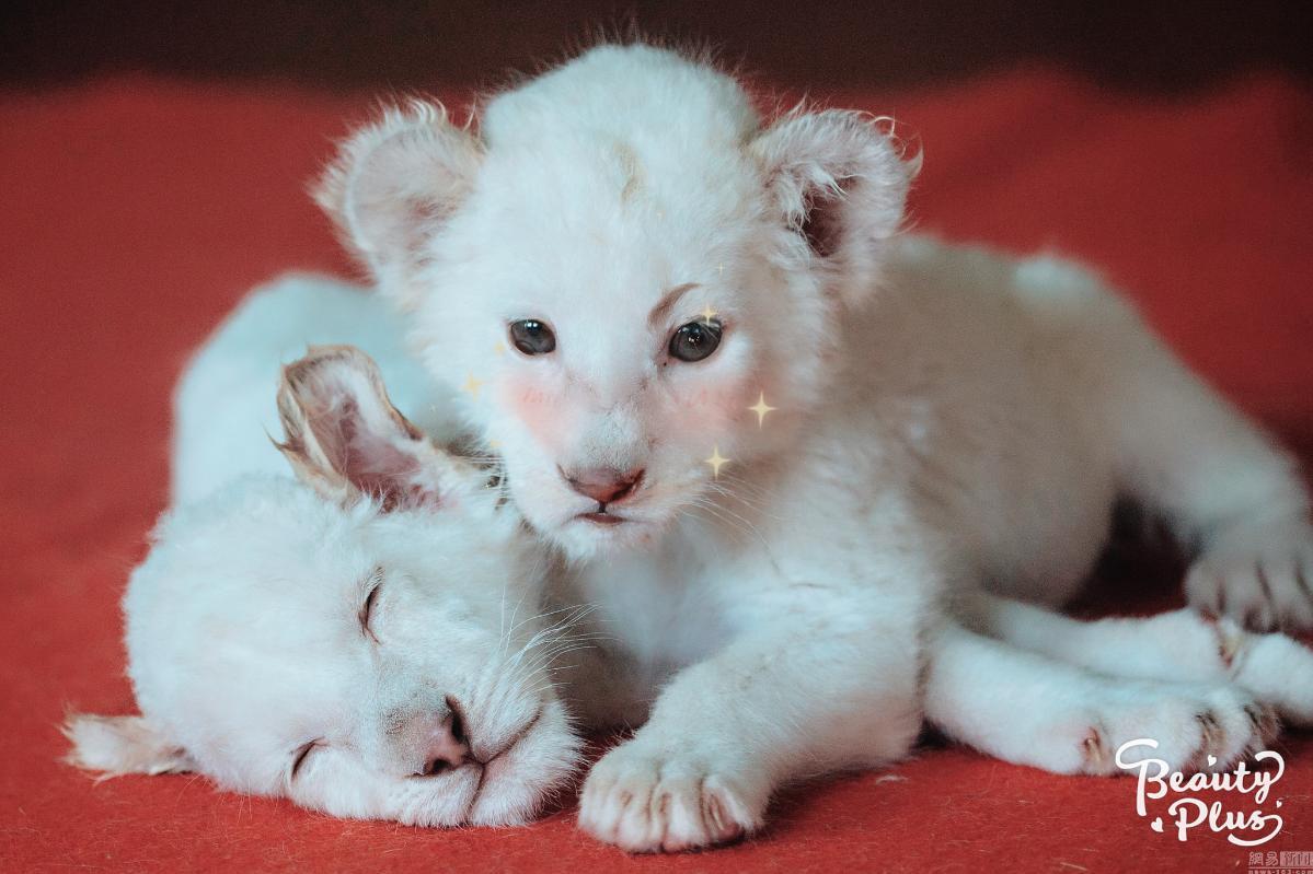 2015年4月27日,杭州野生动物世界近日诞生了两只世界珍稀的小白狮。育幼员给这两只小白狮取名为多多和多多妹,它们是一对兄妹,感情可好了,睡觉也要抱在一起。两只小白狮远远看上去就像一对小绵羊,非常呆萌可爱,所以也被称为最萌版的猛兽。 图片来源:许康平/视觉中国