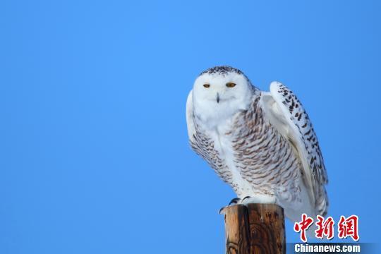 北极野生动物——雪鸮再现新疆哈巴河县(图)