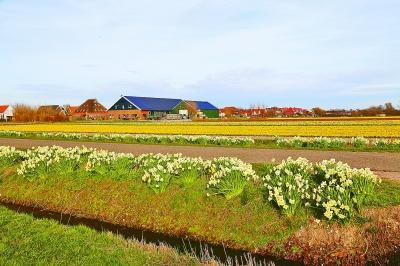 每当春天来临,荷兰农村的田野里色彩缤纷,鲜花争奇斗艳,使人仿佛走进