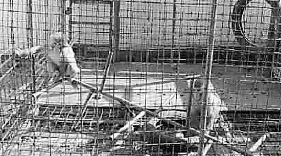 猴暂时寄养在动物园