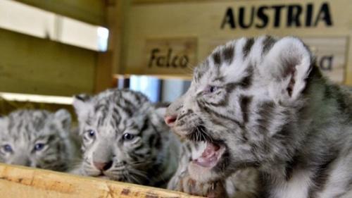 奥地利白色动物园迎来白虎四胞胎