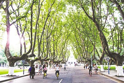 多年来,南京形成了以梧桐树为代表的具有鲜明特色的行道树系统,其
