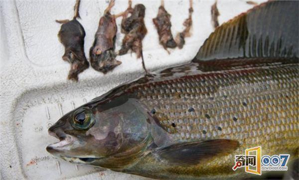八孔竖笛鳟鱼简谱