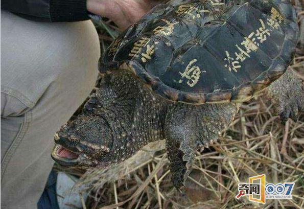男子钓到神秘巨龟,鬼背上写满金字!