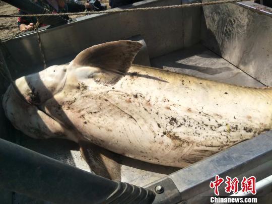 渔民捕获罕见鲟鳇:由于过度捕捞 野生鳇鱼已非常稀少!