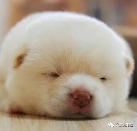 >> 正文    这些可爱的柴犬小宝宝,像个糯米团儿似的,萌爆了.